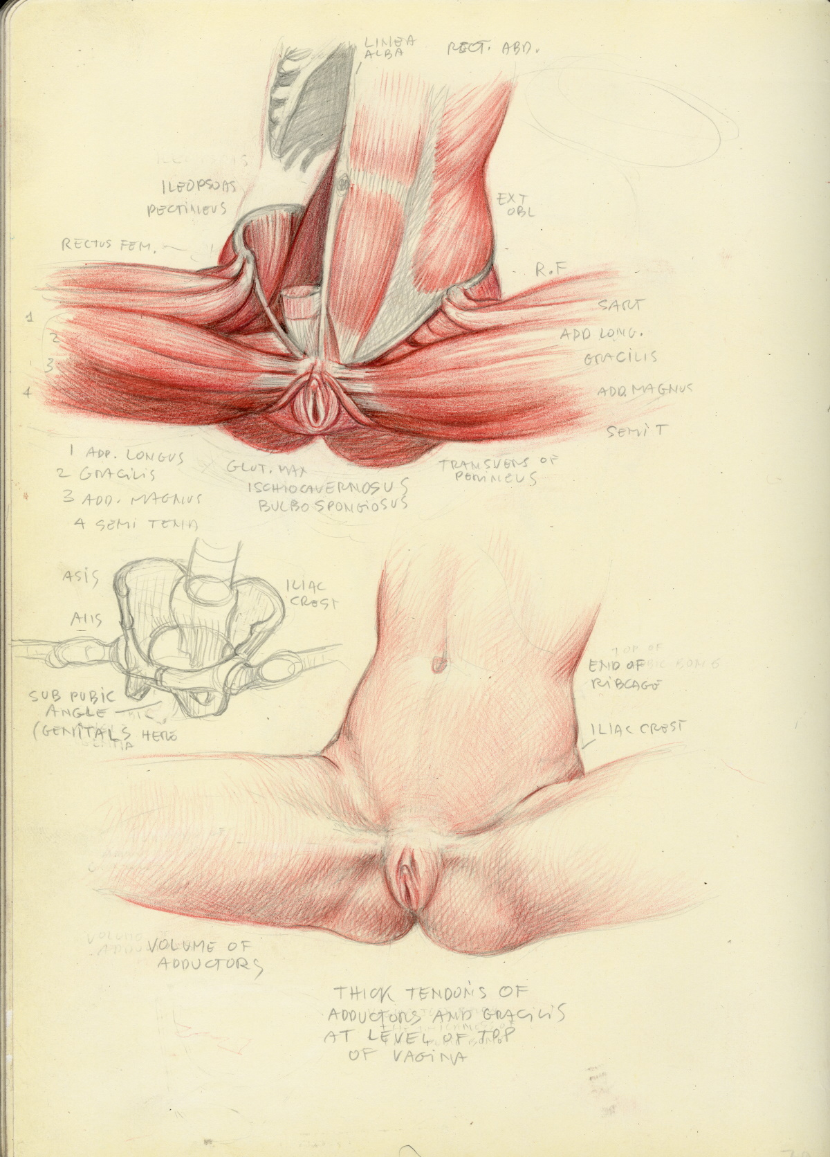 female pelvis, drawing and anatomical study