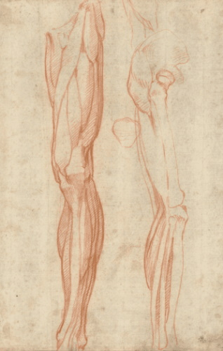 roberto-osti-drawing-Michelangelo The_muscles_of_the_left_leg,_seen_from_the_front,_and_the_bones_and_muscles_of_the_right_leg_seen_in_right_profile,_and_between_them,_a_patella-318x500